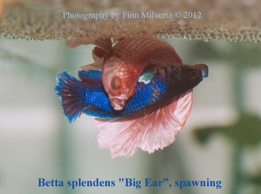 Betta splendens for How big can a betta fish get