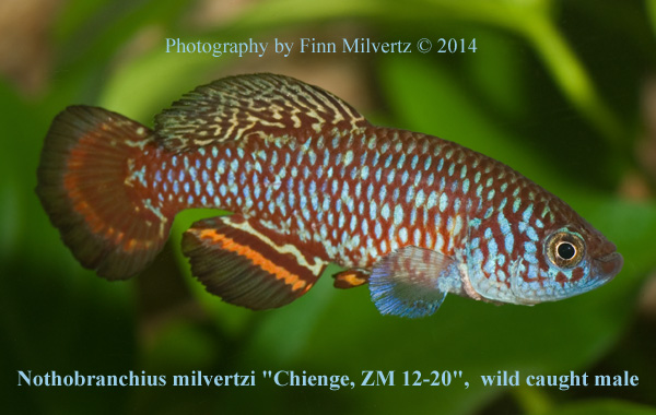 Nothobranchius milvertzi