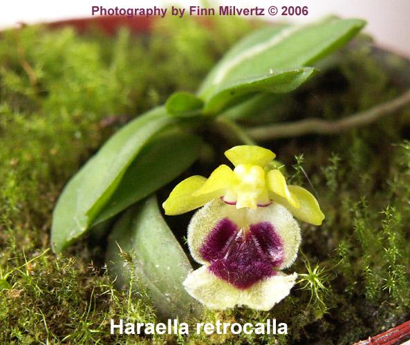Billeder af Haraella retrocalla