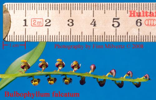 Billeder af Bulbophyllum falcatum
